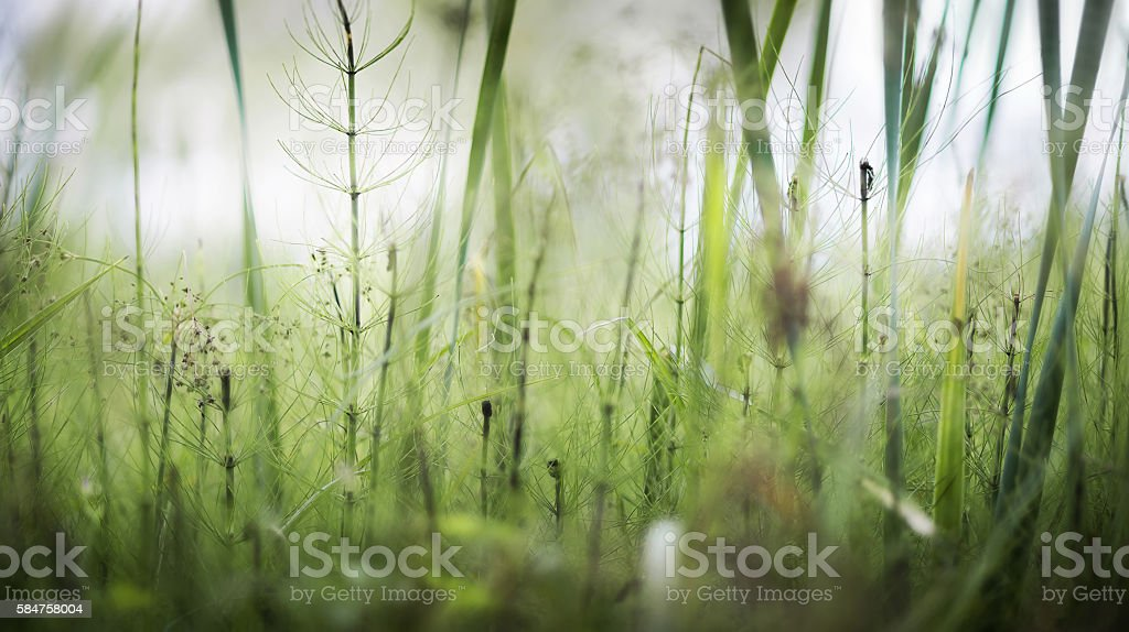 growing horsetail summer day in the swamp stock photo