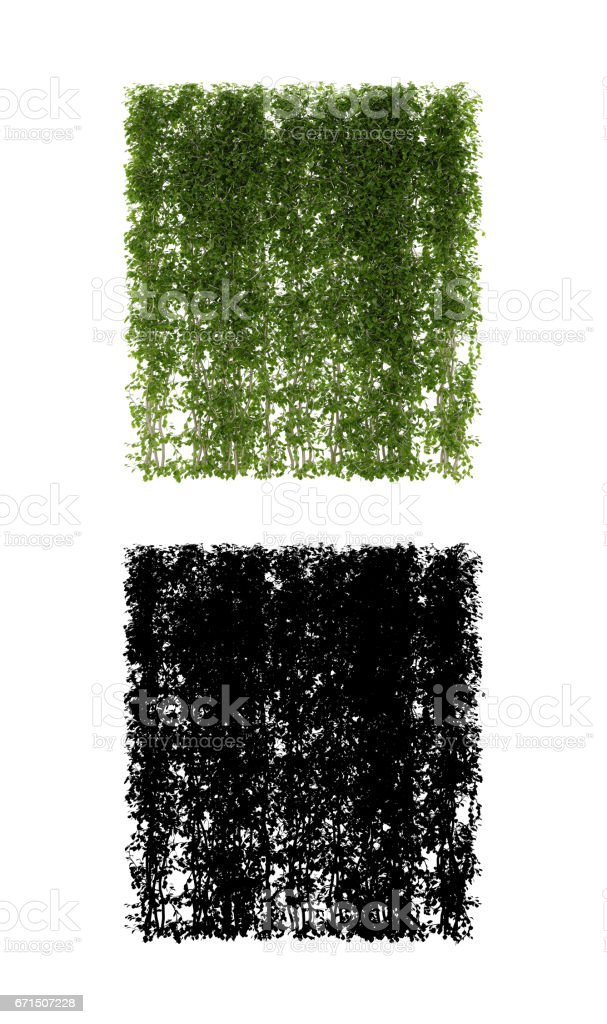 Growing ivy leaves isolated on a white background stock photo