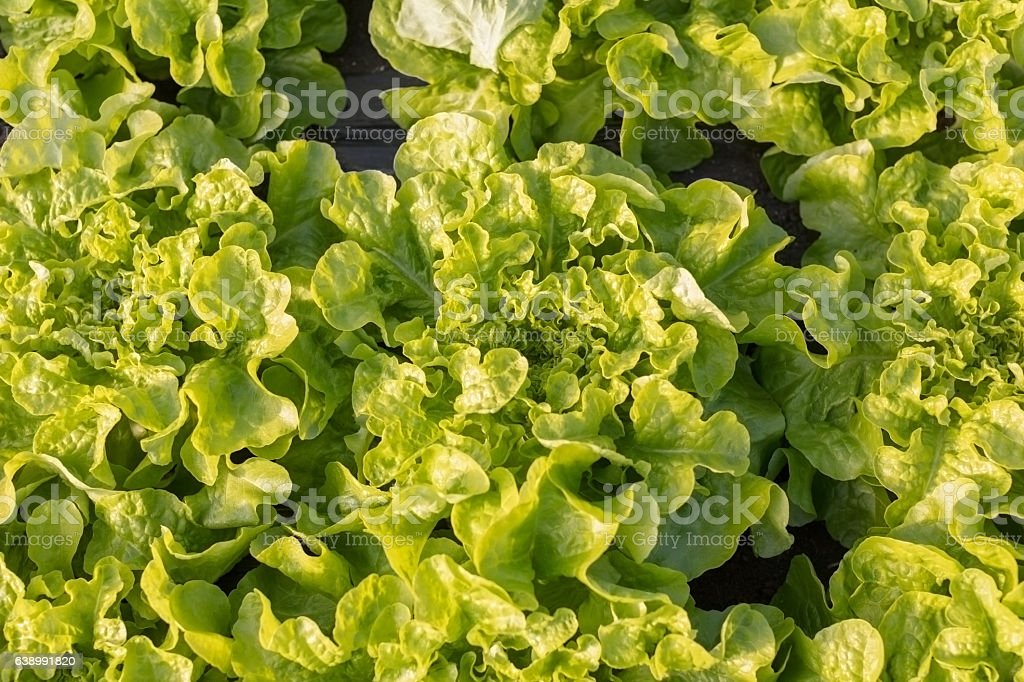 Growing  leaf lettuce stock photo