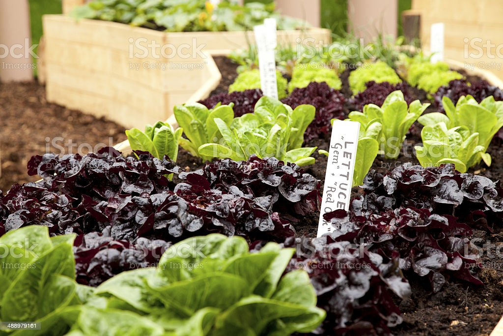 Growing Lettuce royalty-free stock photo