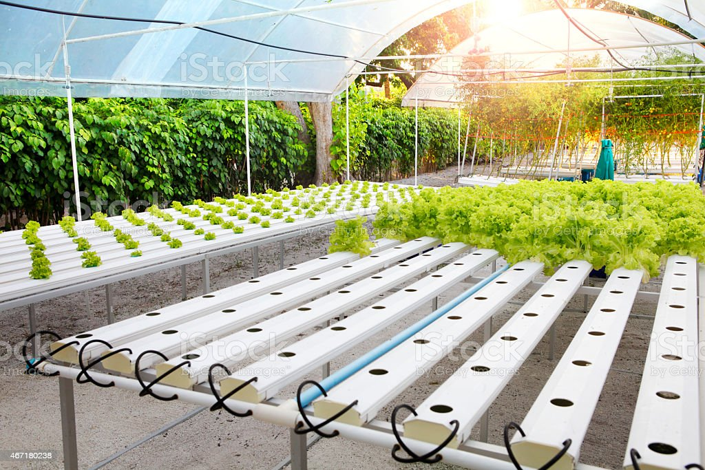 Growing lettuce using hydroponics agriculture stock photo