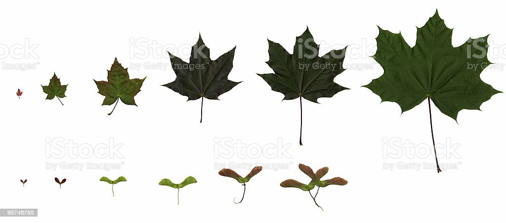 Growing Maple Leaves royalty-free stock photo