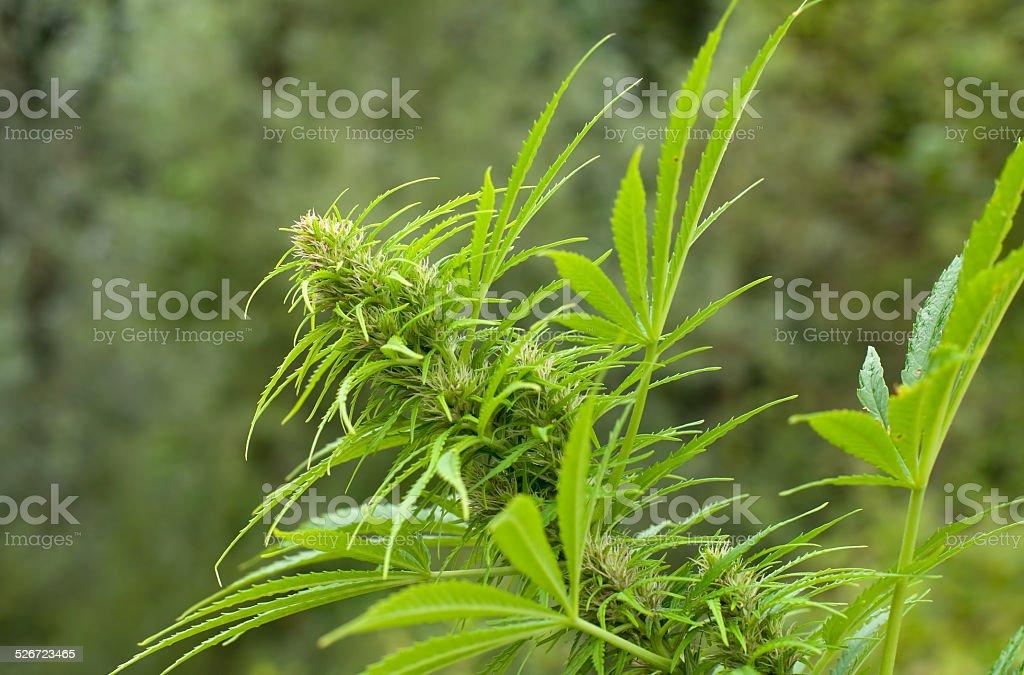 Growing marijuana bud stock photo