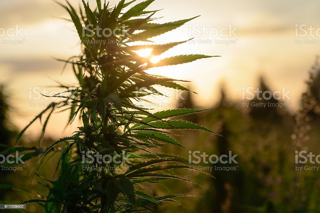 Growing marijuana in field stock photo