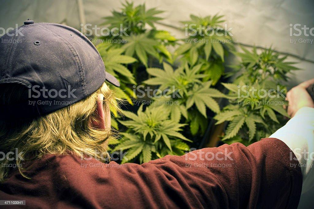 Growing Marijuana royalty-free stock photo