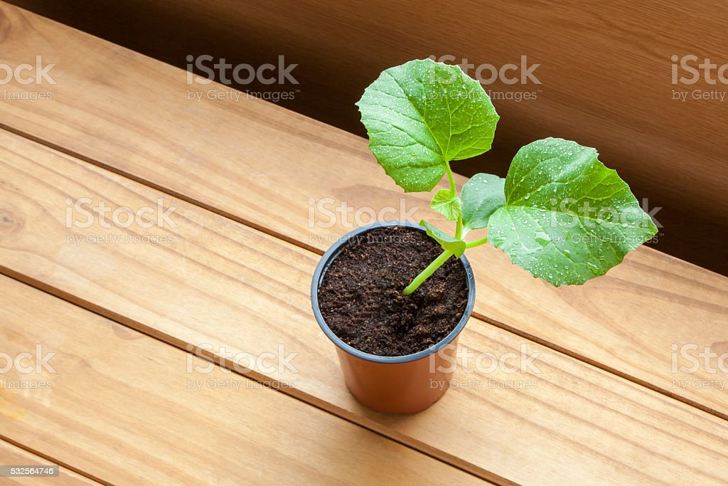Growing melon plants, text space, beautiful wood background. stock photo