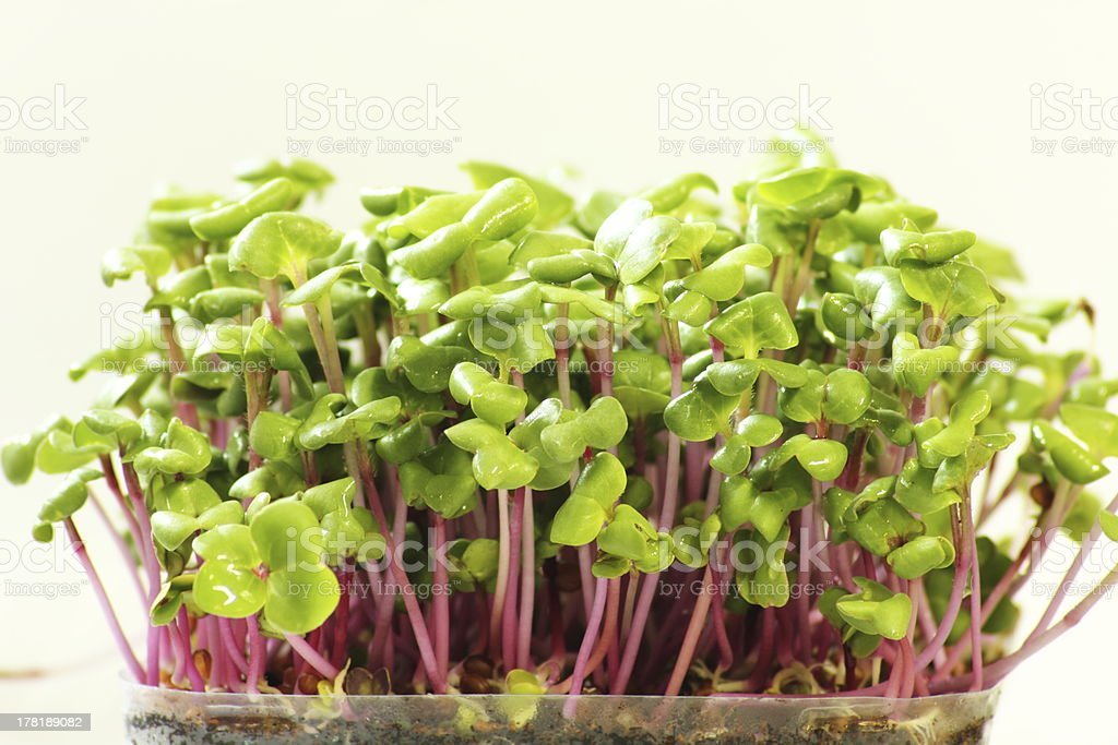 Growing microgreens on plastic white cup stock photo