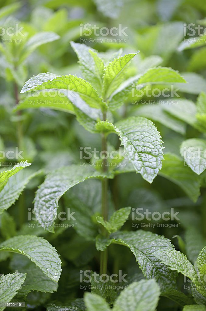 Growing mint royalty-free stock photo