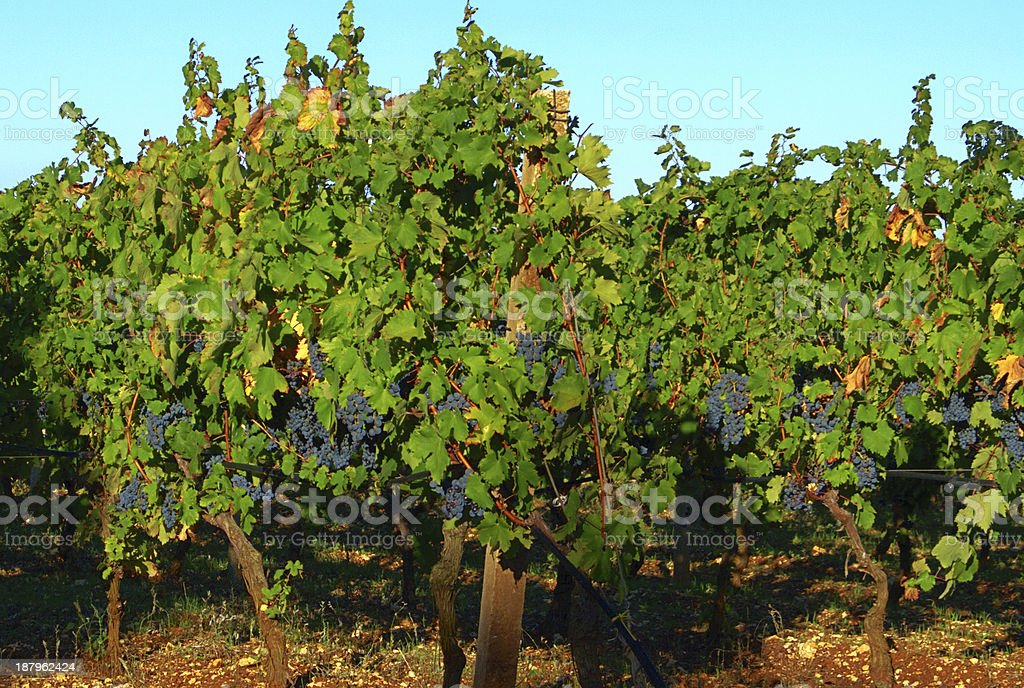 Growing of wine grapes. stock photo
