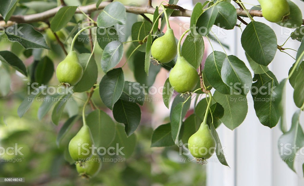 Growing pears stock photo