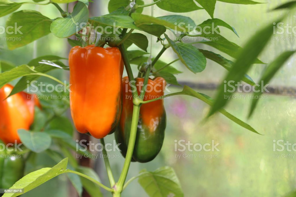 Growing Pepper in a Greenhouse. stock photo
