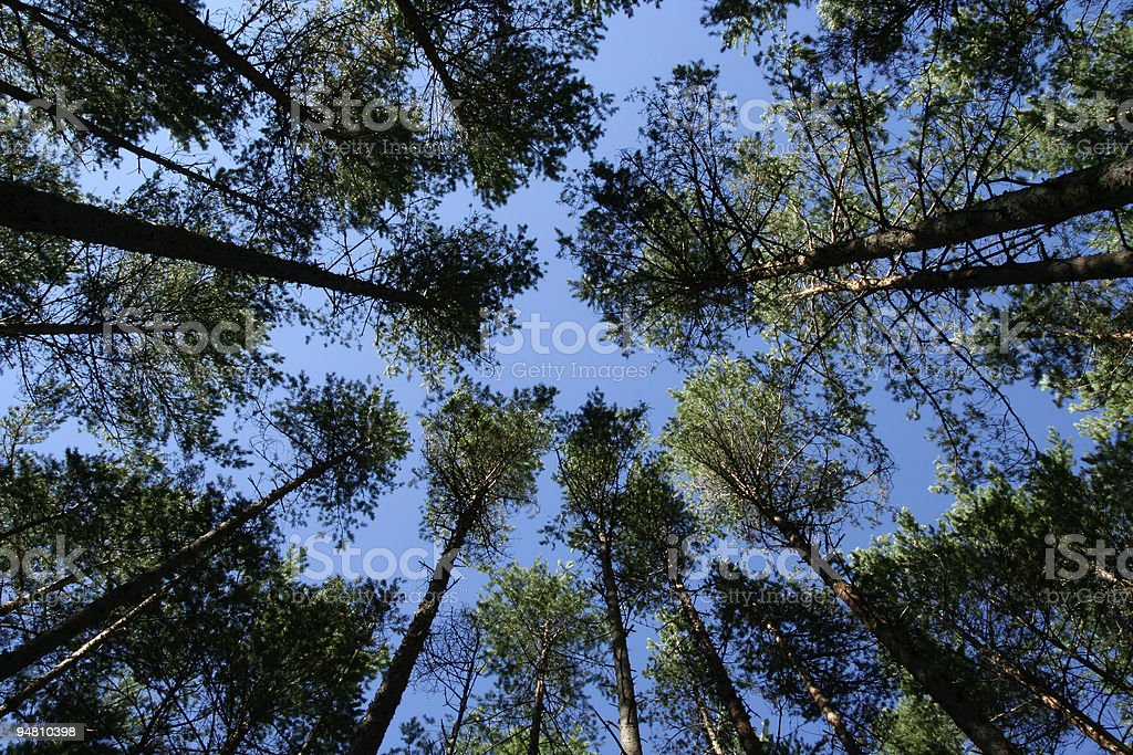Growing Pine Trees royalty-free stock photo