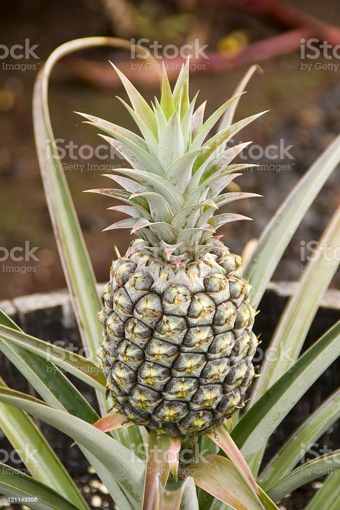 Growing Pineapple royalty-free stock photo