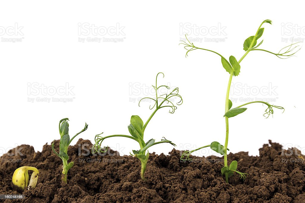 growing Plant Sequence in different stages stock photo
