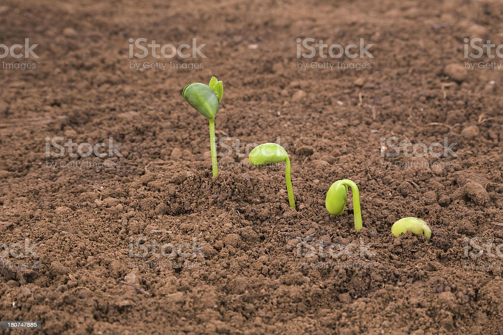 growing plant sequence in dirt isolated on white background royalty-free stock photo