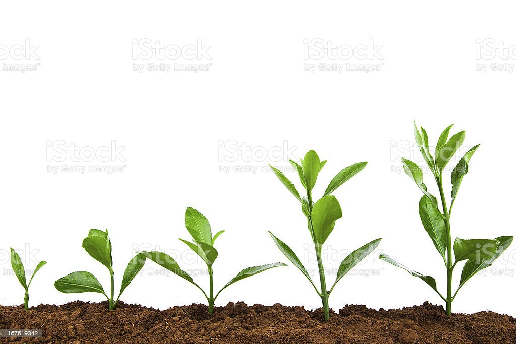 Growing Plant Sequence in dirt:green Holly isolate on white background stock photo