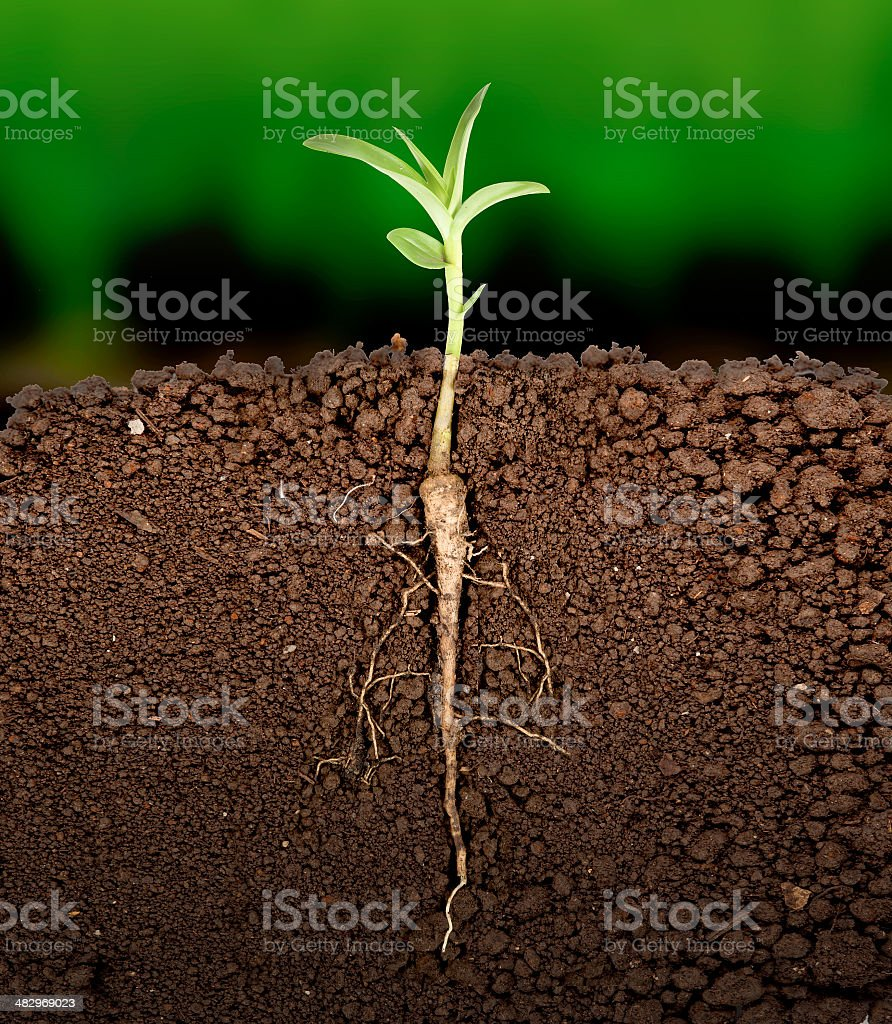 Growing plant with underground root visible stock photo