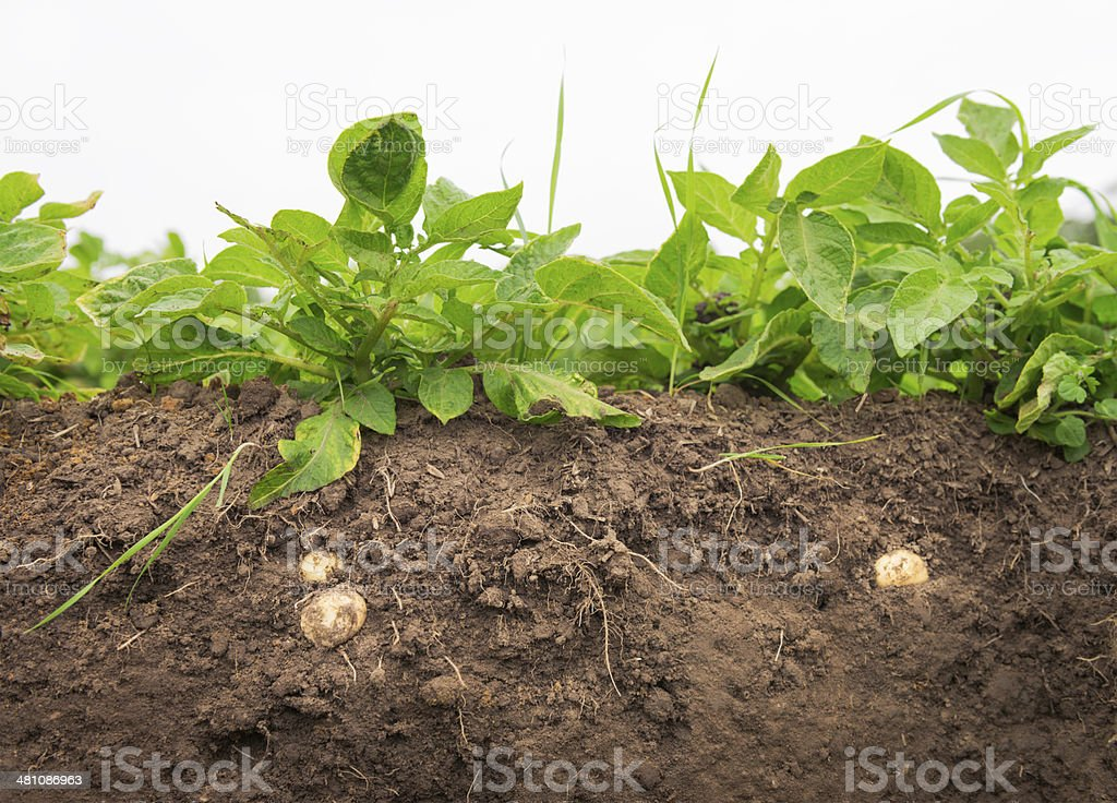 Growing Potato Cross Section stock photo