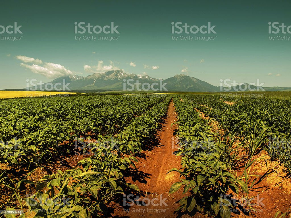 Growing potatoes in the mountains royalty-free stock photo