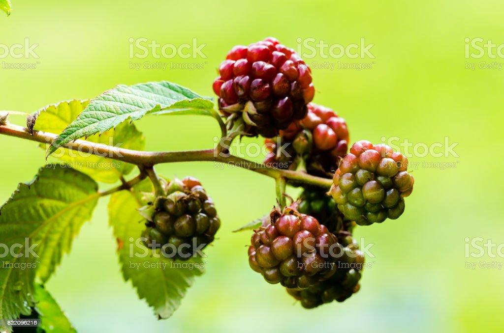 Growing raspberry stock photo