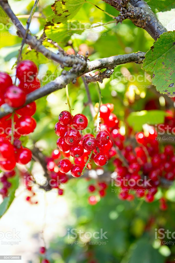 growing red currant stock photo