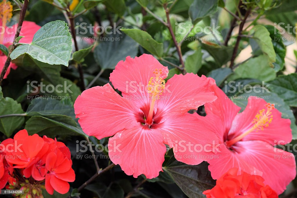 Growing Red Hibiscus Flowers in macro stock photo