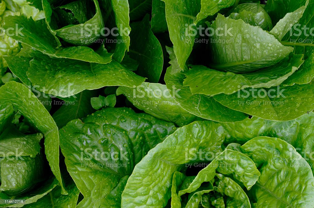 Growing Romaine lettuce from above royalty-free stock photo