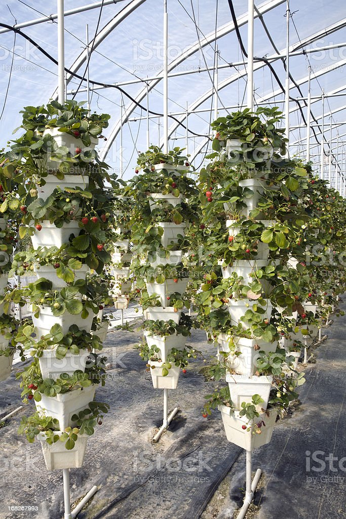 Growing Strawberries Hydroponically royalty-free stock photo