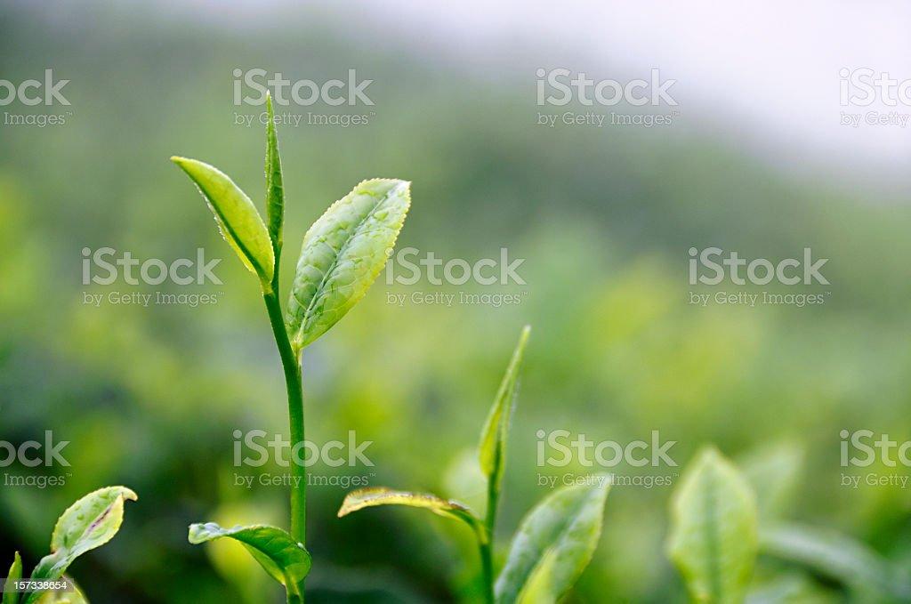 Growing Tea Leaf stock photo
