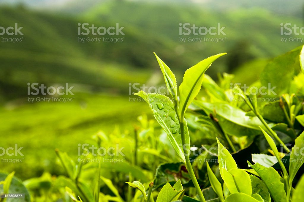 Growing Tea Leaves stock photo