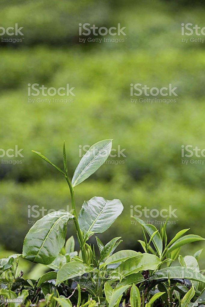 Growing Tea Leaves royalty-free stock photo