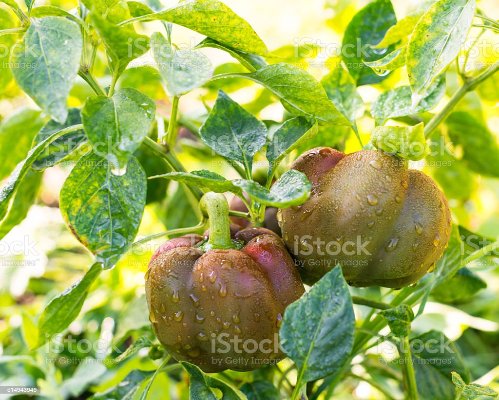 Growing the bell peppers (capsicum) stock photo