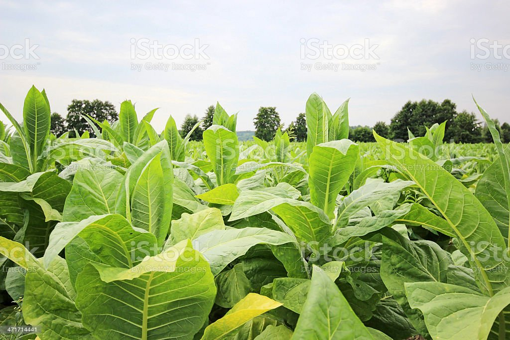 growing tobacco in Poland stock photo