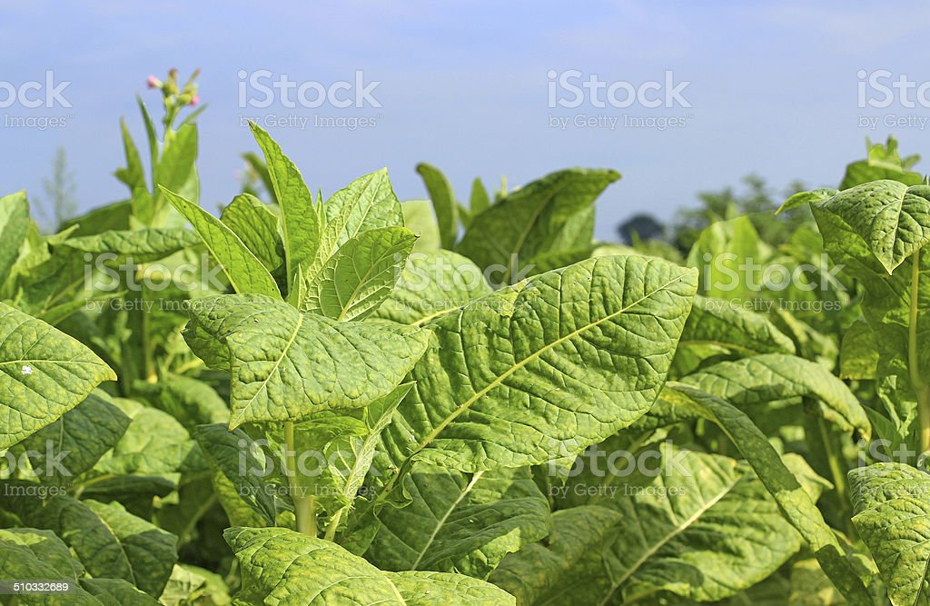 growing tobacco on a field stock photo
