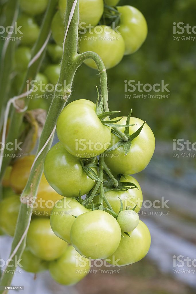 Growing tomatoes in a greenhouse royalty-free stock photo