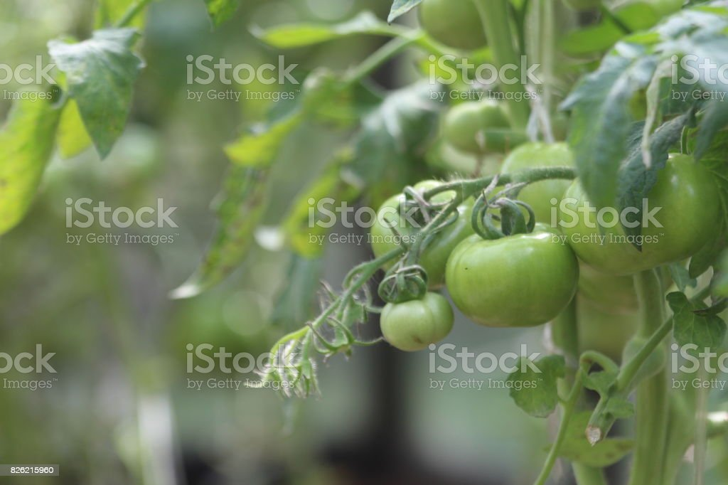 Growing Tomatoes in a Greenhouse. stock photo