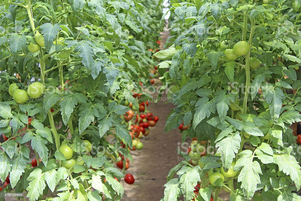 Growing tomatoes in the greenhouse royalty-free stock photo