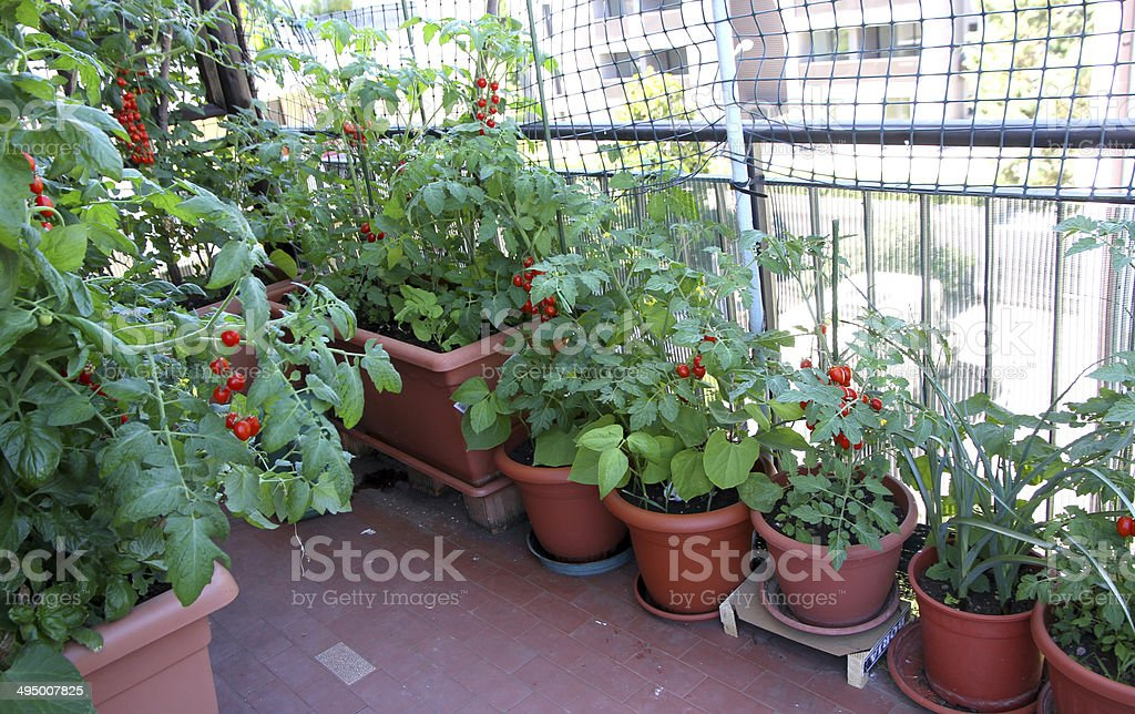 growing tomatoes on the terrace of the apartment building stock photo