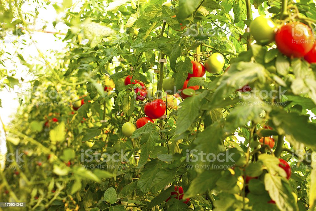 Growing tomatoes royalty-free stock photo