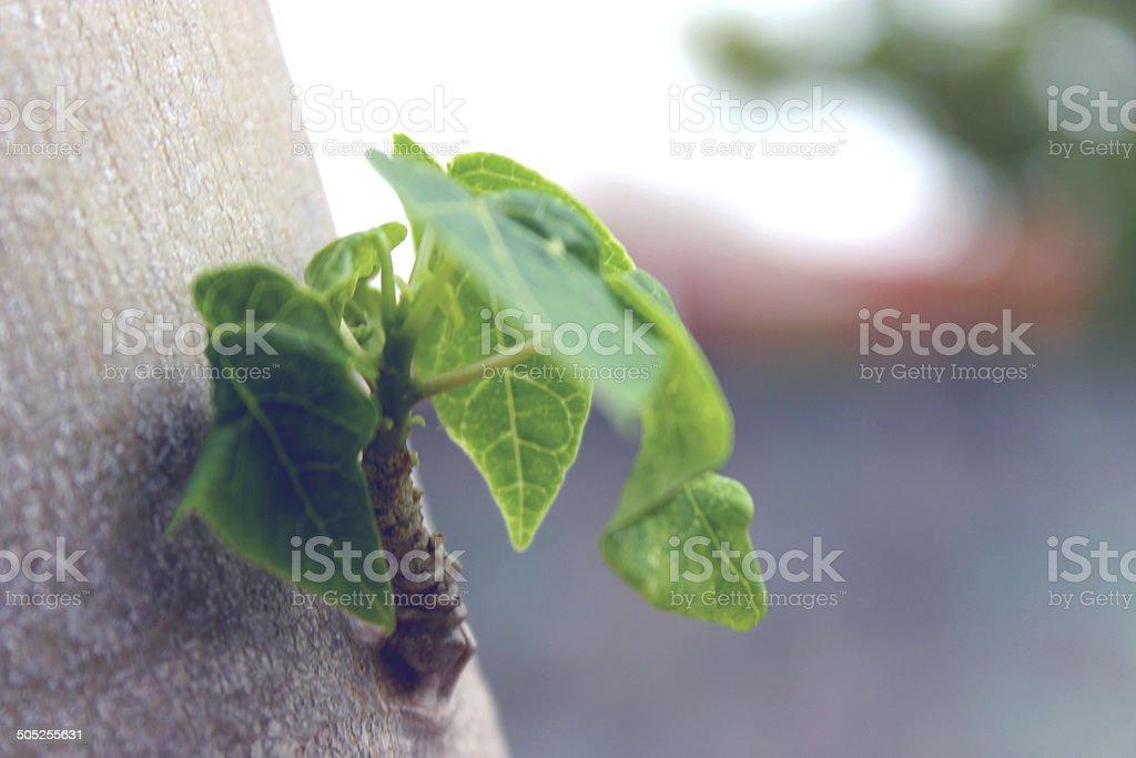 Galho crescendo no tronco do mam?o stock photo