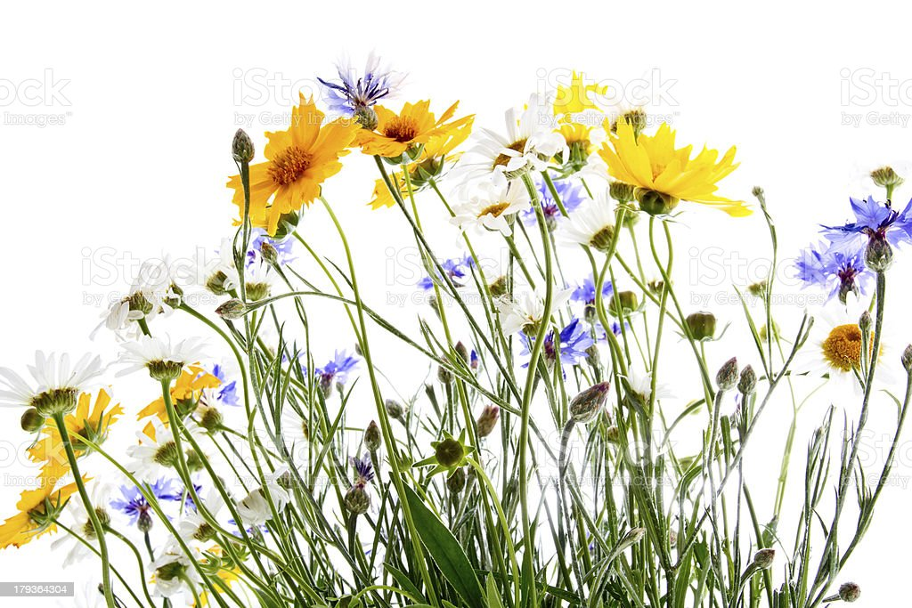 Growing up field flowers 2 stock photo