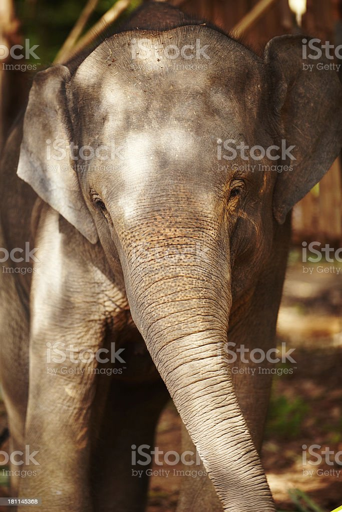 Growing up in captivity - Thailand royalty-free stock photo
