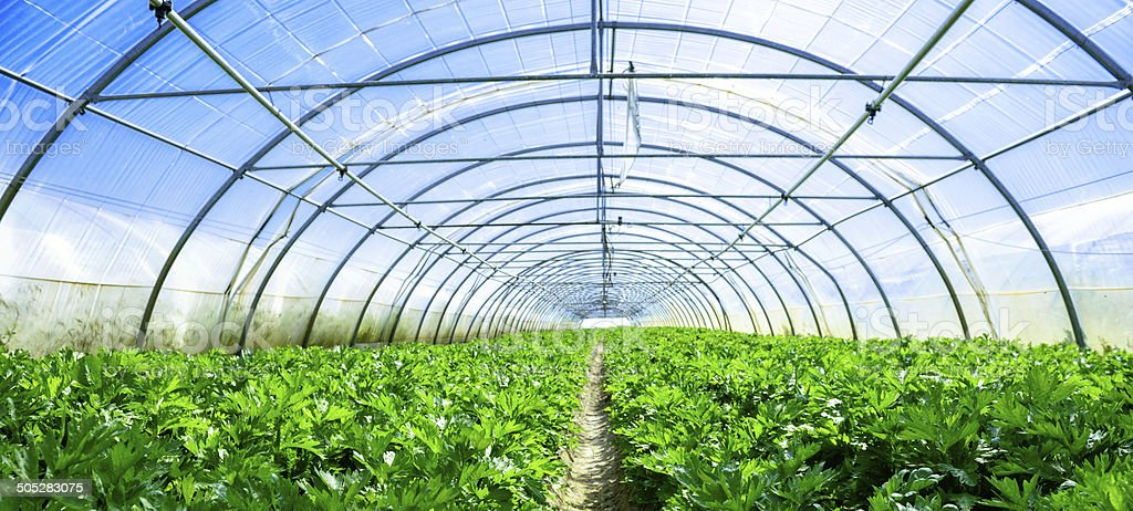 growing vegetables in a greenhouse royalty-free stock photo