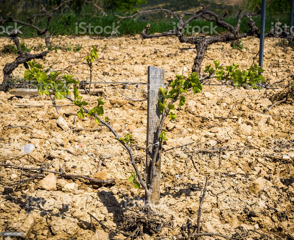 growing vine in spring stock photo