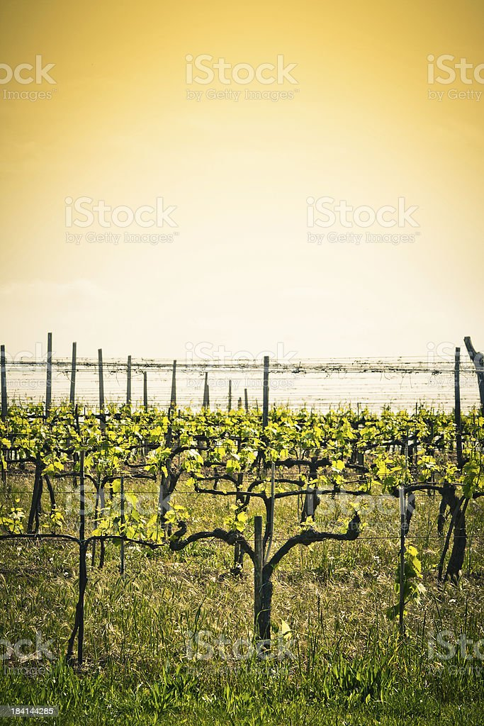Growing Vines against Empty Sky in Tuscany, Italy stock photo