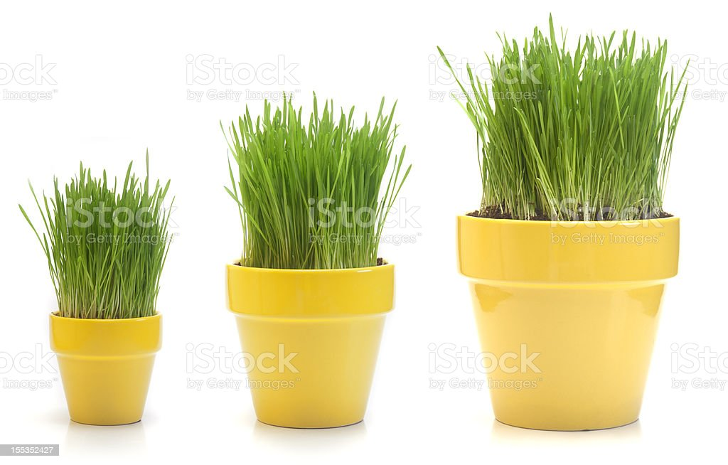 Growing Wheat Grass royalty-free stock photo