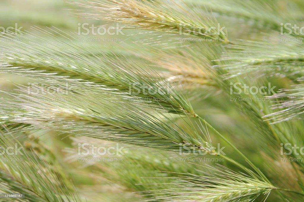 Growing wild wheat royalty-free stock photo
