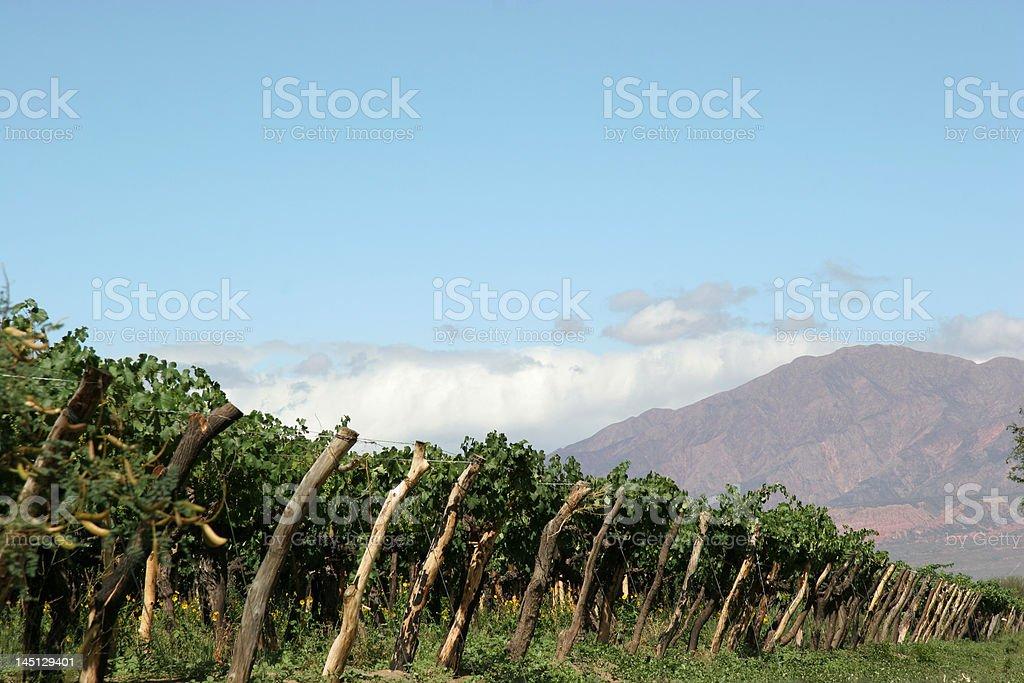 Growing wine royalty-free stock photo