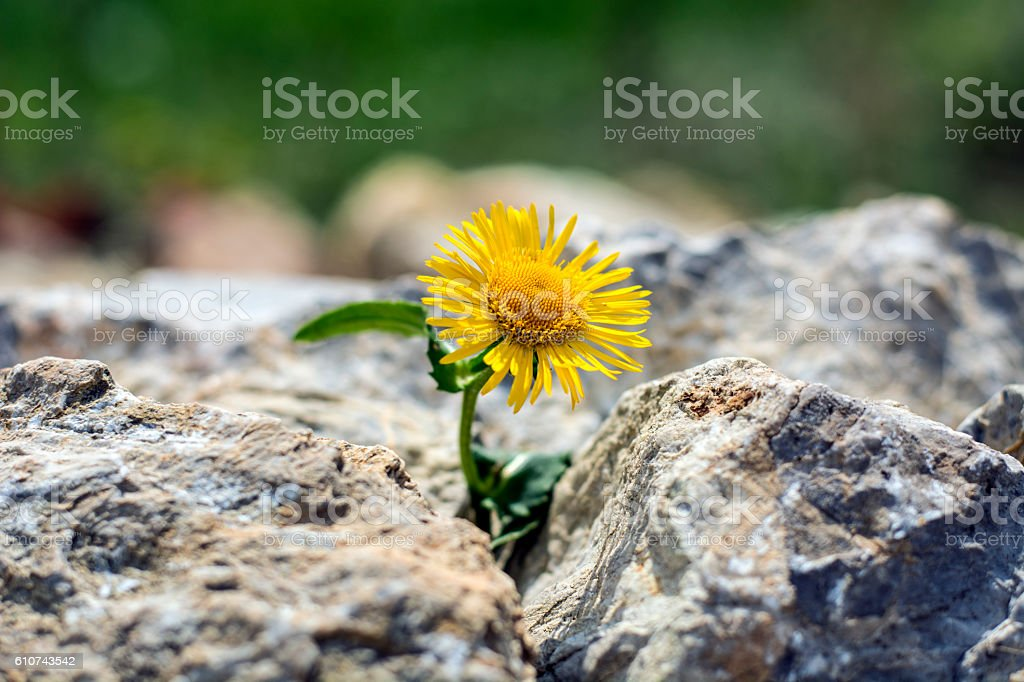 Growing yellow dandelion flower sprout in rocks stock photo