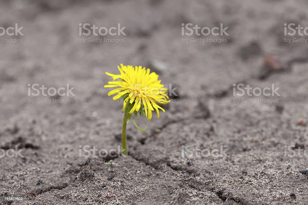 Growing  yellow flower sprout royalty-free stock photo